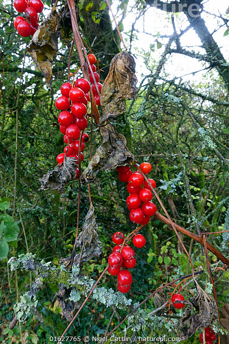 Red poisonous berries of Black bryony (Dioscorea communis) remain after the leaves and climbing stem die back in autumn Berkshire, England, UK., red,poisonous,poison,toxic,berry,berries,black,bryony,Dioscorea,communis,angiosperm,eudicot,dicotyledon,Discoreaceae,climbing,clim,climber,ladys-seal,black bindweed,shiny,scarlet,leaves,stem. die,back,dying,autumn,fall,yam,family,Tamus,herbaceous,saponin,lichen,branches,downland,West,Berkshire,plant,October,,Plant,Vascular plant,Flowering plant,Monocot,Yam,Black bryony,Plantae,Plant,Tracheophyta,Vascular plant,Magnoliopsida,Flowering plant,Angiosperm,Seed plant,Spermatophyte,Spermatophytina,Angiospermae,Dioscoreales,Monocot,Monocotyledon,Lilianae,Dioscoreaceae,Yam,Dioscorea,Dioscorea communis,Black bryony,Tamus communis,Tamus cirrhosa,Dioscorea canariensis,Europe,Western Europe,UK,Great Britain,England,Berkshire,, Nigel Cattlin