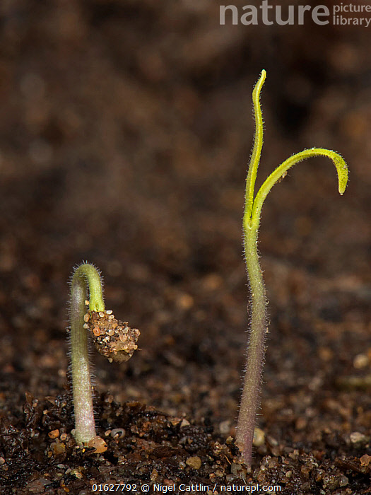 Gardeners delight, Cherry tomato seedling just germinated with cotyledons above the soil, tomato,tomatoes,Solanum,lycopersicon,germinate,germination,germinating,cotyledon,cotyledons,soil,seed,plant,plants,crop,vegetable,fruit,salad,stem,small,delicate,angiosperm,eudicot,dicotyledon,Solanaceae,,,Growth,Plant,Crops,Produce,Cultivated,Seedling,Seedlings,Food,Vegetable,Vegetables,Tomato,Tomatoes,Beginnings,Germination,,catalogue12, Nigel Cattlin