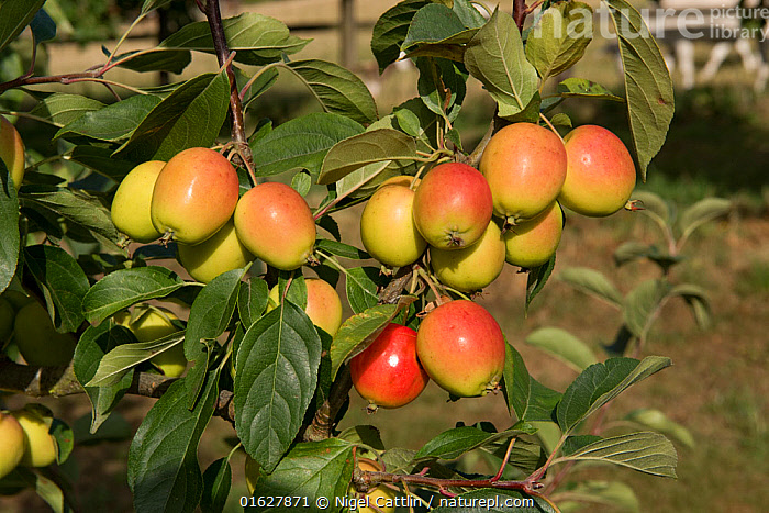 Crab apple, (Malus 'John Downie'), with red, orange-yellow ovoid fruit on the tree, Berkshire, August, crab,apple,Malus,John Downie,red,yellow,orange,ovoid,egg-shaped,fruit,fruits,tree,leaf,leaves,angiosperm,eudicot,Rosaceae,orchard,pollinator,ornamental,garden,jelly,edible,cooking,kitchen,jam,Berkshire,England,UK,August,,Plant,Vascular plant,Flowering plant,Rosid,Apple,Plantae,Plant,Tracheophyta,Vascular plant,Magnoliopsida,Flowering plant,Angiosperm,Seed plant,Spermatophyte,Spermatophytina,Angiospermae,Rosales,Rosid,Dicot,Dicotyledon,Rosanae,Rosaceae,Malus,Apple,Apple tree,Europe,Western Europe,UK,Great Britain,England,Berkshire,Fruit,Crabapple,Tree,Trees, Nigel Cattlin
