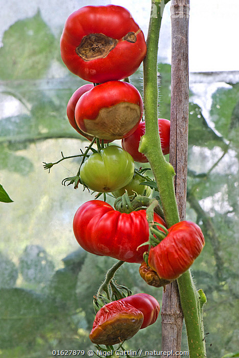 Greenhouse grown Tomatoes (Solanum lycopersicum) on canes where the fruit is suffering from severe blossom end rot, Berkshire, England, UK. August, greenhouse,glasshouse,tomato,tomatoes,fruit,fruits,Solanum,lycopersicum,angiosperm,eudicot dicotyledon,Solanaceae,blossom,end,rot,calcium,deficiency,deficient,Ca,water,lack,watering,drought,crop,red,ripe,green,unripe,cane,canes,distorted,damaged,damage,lost,Berkshire,England,UK,August,summer,,Plant,Vascular plant,Flowering plant,Asterid,Nightshade,Tomato plant,Plantae,Plant,Tracheophyta,Vascular plant,Magnoliopsida,Flowering plant,Angiosperm,Seed plant,Spermatophyte,Spermatophytina,Angiospermae,Solanales,Asterid,Dicot,Dicotyledon,Asteranae,Solanaceae,Solanacees,Solanum,Nightshade,Solanum lycopersicum,Tomato plant,Garden tomato,Lycopersicon esculentum,Lycopersicon lycopersicum,Lycopersicon cerasiforme,Europe,Western Europe,UK,Great Britain,England,Berkshire,Edible,Vegetable,Vegetables, Nigel Cattlin