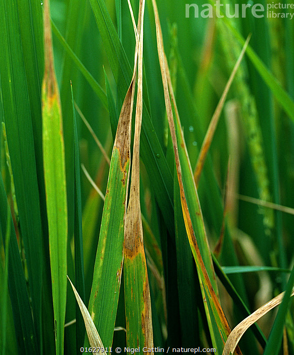 Leaf tipping on Rice (Oryza sativa) caused by Leaf scald (Microdochium oryzae) disease, Thailand  ,  agriculture,albescens,Angiosperm,Angiospermae,area,areas,Asia,Asian rice,backlit,blotch,blotches,catalogue12,close up,crop,Crops,Cultivated,Cultivated rice,discreet,disease,Flowering plant,Food,fungal,fungus,Gerlachia,Grain,Grains,Gramineae,Grass,Horticulture,leaf,lesion,lesions,Lilianae,Magnoliopsida,Monocot,Monocotyledon,Monographella,October,Oryza,Oryza elongata,Oryza rubribarbis,Oryza sativa,oryzae,pathogen,plant,plant plant,Plantae,Poaceae,Poales,Produce,region,regions,rice,sativa,scald,South East Asia,Spermatophyte,Spermatophytina,Thailand,tipping,Tracheophyta,True grass,Vascular plant,zonal  ,  Nigel Cattlin