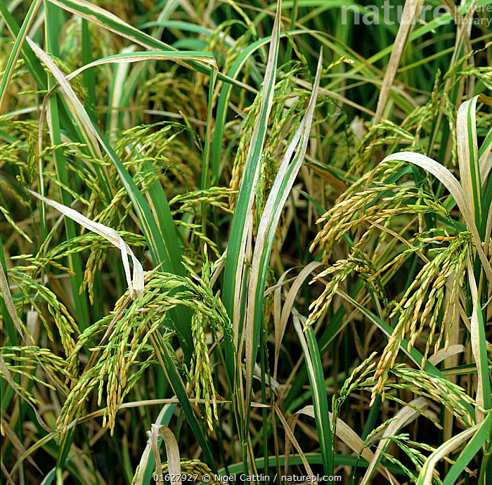 Bacterial blight (Xanthomonas oryzae pv oryzae) disease lesions on Rice (Oryza sativa) crop, Luzon, Philippines  ,  agriculture,Angiosperm,Angiospermae,Asia,Asian rice,bacteria,bacterial,Biodiversity hotspot,Biodiversity hotspots,blight,catalogue12,close up,crop,Crops,Cultivated,Cultivated rice,disease,diseased,ear,ears,Flowering plant,Food,Grain,Grains,Gramineae,Grass,Horticulture,infection,leaf,leaves,Lilianae,Luzon,Magnoliopsida,Monocot,Monocotyledon,Oryza,Oryza elongata,Oryza rubribarbis,Oryza sativa,oryzae,paddy,pathogen,Philippines,plant,plant plant,Plantae,plants,Poaceae,Poales,Produce,pv oryzae,Republic of the Philippines,rice,sativa,September,severe,South East Asia,Spermatophyte,Spermatophytina,Tracheophyta,True grass,Vascular plant,Xanthomonas  ,  Nigel Cattlin