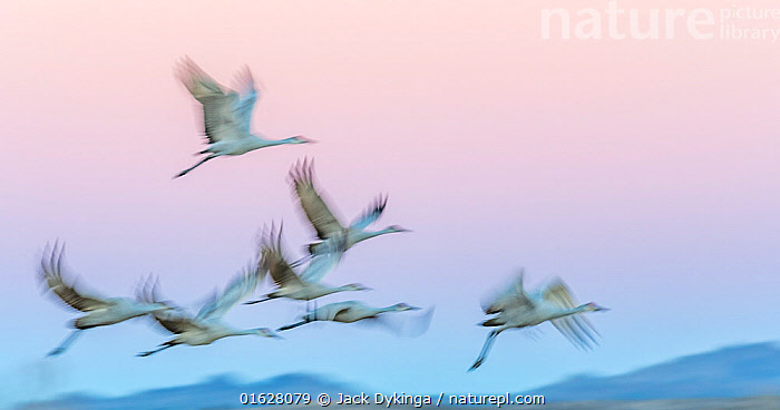 Sandhill cranes (Antigone canadensis) in flight in late evening light, Bosque Del Apache, New Mexico, USA. December, Animal,Wildlife,Vertebrate,Bird,Birds,Crane,Sandhill crane,American,Animalia,Animal,Wildlife,Vertebrate,Aves,Bird,Birds,Gruiformes,Gruidae,Crane,Grus,Grus canadensis,Sandhill crane,Little brown crane,Canadian crane,Flying,Group Of Animals,Flock,Group,North America,USA,Western USA,Southwest USA,New Mexico,Photographic Effect,Blurred Motion,Blurred Movement,Arty shots,Bosque del Apache,American,United States of America,,,catalogue12, Jack Dykinga