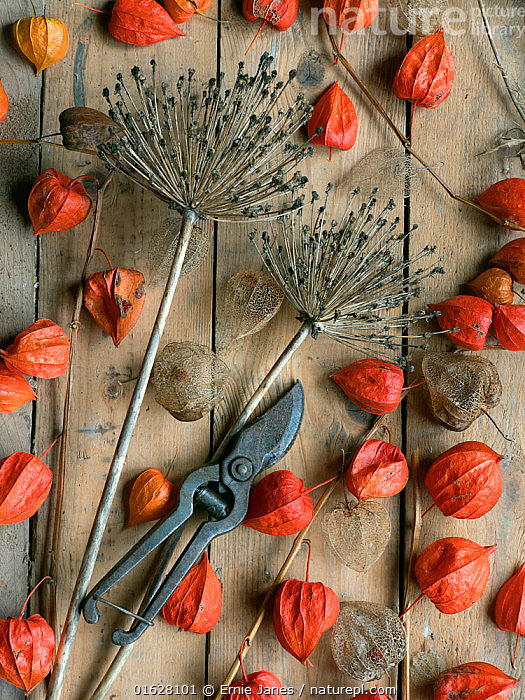 Arrangement of Chinese Lanterns (Physalis alkekengi) and Allium seedheads from garden with secateurs.  ,  Plant,Vascular plant,Flowering plant,Asterid,Chinese lantern plant,Bladder cherry,Monocot,Plantae,Plant,Tracheophyta,Vascular plant,Magnoliopsida,Flowering plant,Angiosperm,Seed plant,Spermatophyte,Spermatophytina,Angiospermae,Solanales,Asterid,Dicot,Dicotyledon,Asteranae,Solanaceae,Solanacees,Physalis,Chinese lantern plant,Physalis alkekengi,Bladder cherry,Chinese lantern,Japanese lantern,Winter cherry,Strawberry groundcherry,Asparagales,Monocot,Monocotyledon,Lilianae,Amaryllidaceae,Allium,Onion,Mood,Rustic,Rusticity,Colour,Orange,Seed Head,Seed Heads,Equipment,Gardening Equipment,Gardening Tools,Tool,Tools,Pruning Shears,Pruner,Pruners,Pruning Shear,Saccateur,Saccateurs,Secateur,Secateurs,Allium materculae,  ,  Ernie  Janes