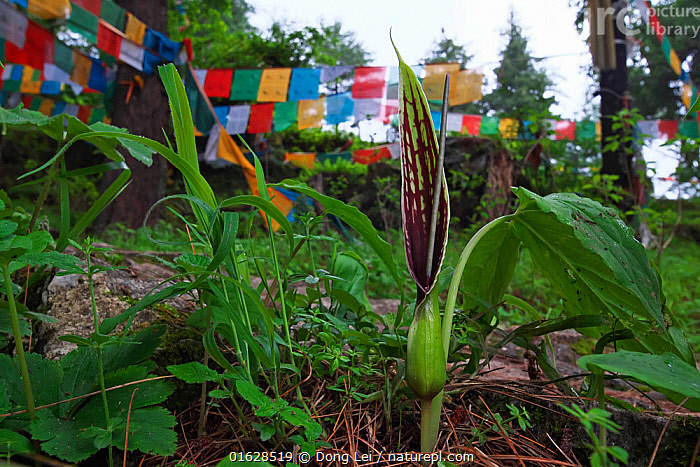 Sauromatum diversifolium flower with prayer flags in the background, Mt Qomolangma National Park, Qinghai Tibet Plateau, China.  ,  Asia,East Asia,China,Plant,Flower,Equipment,Religious Equipment,Prayer Flag,Prayer Flags,Reserve,Protected area,National Park,Qinghai Tibetan Plateau,  ,  Dong Lei