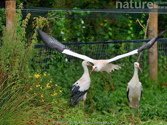 Captive reared juvenile White stork (Ciconia ciconia) flying from an opening in a temporary holding pen on release day on the Knepp estate as others look on, Sussex, UK, August 2019., Ciconiidae,Storks,White,Birds,Europe,Black,Vertebrates,United Kingdom,England,Britain,British,Reintroduction,Reintroduced,Rewilding,Young,Juveniles,Released,Releases,Soft releases,Pens,Enclosures,Group,Flock,Flight,Flying,,Animal,Wildlife,Vertebrate,Bird,Birds,Stork,White stork,Animalia,Animal,Wildlife,Vertebrate,Aves,Bird,Birds,Ciconiiformes,Ciconiidae,Stork,Ciconia,Ciconia ciconia,White stork,European white stork,Few,Three,Group,Europe,Western Europe,UK,Great Britain,England,Young Animal,Restoration,Conservation,Captive breeding,Species recovery programs,Rewilding,Sussex,Wildlife conservation,, Nick Upton