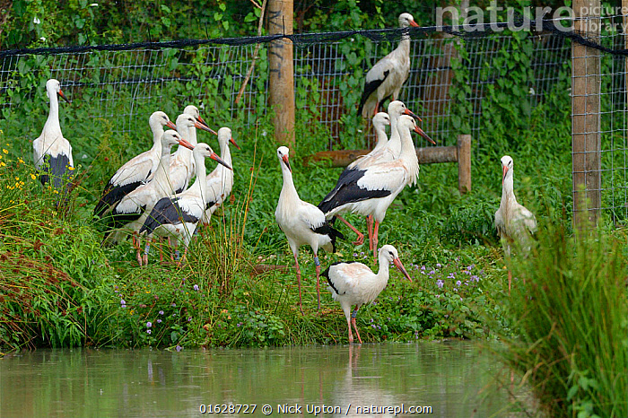 Captive reared juvenile White storks (Ciconia ciconia) starting to emerge cautiously from an opening in a temporary holding pen into a pond on release day on the Knepp estate, Sussex, UK, August 2019., Ciconiidae,Storks,White,Birds,Europe,Black,Vertebrates,United Kingdom,England,Britain,British,Reintroduction,Reintroduced,Rewilding,Young,Juveniles,Released,Releases,Soft releases,Pens,Enclosures,Group,Flock,Walking,,Animal,Wildlife,Vertebrate,Bird,Birds,Stork,White stork,Animalia,Animal,Wildlife,Vertebrate,Aves,Bird,Birds,Ciconiiformes,Ciconiidae,Stork,Ciconia,Ciconia ciconia,White stork,European white stork,Group Of Animals,Flock,Group,Europe,Western Europe,UK,Great Britain,England,Young Animal,Restoration,Conservation,Captive breeding,Species recovery programs,Rewilding,Sussex,Wildlife conservation,, Nick Upton