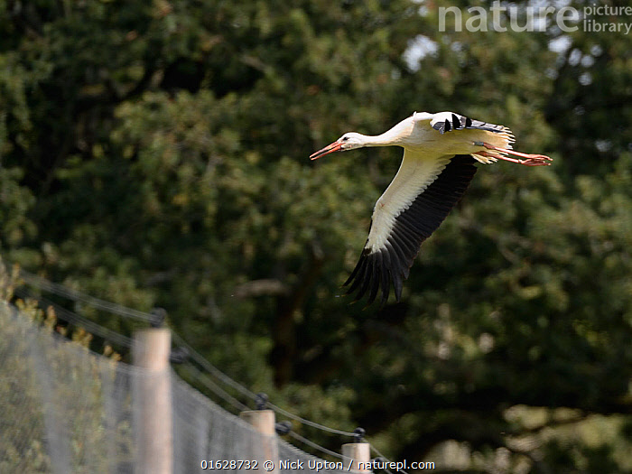 Captive reared juvenile White stork (Ciconia ciconia) flying from a large fenced enclosure on release day on the Knepp Estate, Sussex, UK, August 2019., Ciconiidae,Storks,White,Birds,Europe,Black,Vertebrates,United Kingdom,England,Britain,British,Reintroduction,Reintroduced,Rewilding,Young,Juveniles,Released,Releases,Soft releases,Pens,Enclosures,Flight,Flying,One,Single,,Animal,Wildlife,Vertebrate,Bird,Birds,Stork,White stork,Animalia,Animal,Wildlife,Vertebrate,Aves,Bird,Birds,Ciconiiformes,Ciconiidae,Stork,Ciconia,Ciconia ciconia,White stork,European white stork,Flying,Releasing,Europe,Western Europe,UK,Great Britain,England,Young Animal,Restoration,Conservation,Captive breeding,Species recovery programs,Rewilding,Sussex,Wildlife conservation,, Nick Upton
