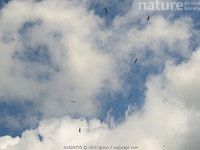 Captive reared juvenile White stork (Ciconia ciconia) flock circling high on thermals soon after release on the Knepp estate, Sussex, UK, August 2019., Ciconiidae,Storks,White,Birds,Europe,Black,Vertebrates,Blue sky,United Kingdom,England,Britain,British,Reintroduction,Reintroduced,Wild,Rewilding,Flying,Group,Flock,Young,Juveniles,Released,Releases,Flight,Thermalling,Soaring,,Animal,Wildlife,Vertebrate,Bird,Birds,Stork,White stork,Animalia,Animal,Wildlife,Vertebrate,Aves,Bird,Birds,Ciconiiformes,Ciconiidae,Stork,Ciconia,Ciconia ciconia,White stork,European white stork,Flying,Releasing,Group Of Animals,Flock,Group,Europe,Western Europe,UK,Great Britain,England,Young Animal,Sky,Cloud,Restoration,Conservation,Captive breeding,Species recovery programs,Rewilding,Sussex,Wildlife conservation,, Nick Upton