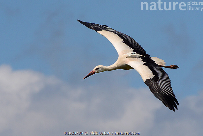 Captive reared juvenile White stork (Ciconia ciconia) with a GPS tracker on its back in flight over the Knepp Estate soon after release, Sussex, UK, August 2019.  ,  Ciconiidae,Storks,White,Birds,Europe,Black,Vertebrates,Blue sky,United Kingdom,England,Britain,British,Reintroduction,Reintroduced,Wild,Rewilding,Flying,Young,Juveniles,Released,Releases,Trees,Flight,One,Single,Close ups,GPS ,Tracker,Tracking,,Animal,Wildlife,Vertebrate,Bird,Birds,Stork,White stork,Animalia,Animal,Wildlife,Vertebrate,Aves,Bird,Birds,Ciconiiformes,Ciconiidae,Stork,Ciconia,Ciconia ciconia,White stork,European white stork,Flying,Releasing,Europe,Western Europe,UK,Great Britain,England,Young Animal,Sky,Cloud,Restoration,Conservation,Captive breeding,Species recovery programs,Rewilding,Sussex,Wildlife conservation,Blue sky,,catalogue12  ,  Nick Upton