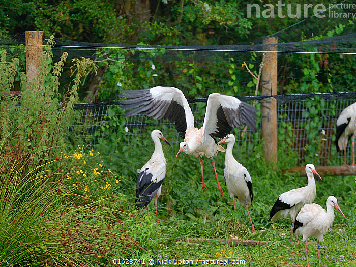 Captive reared juvenile White stork (Ciconia ciconia) flying from an opening in a temporary holding pen on release day on the Knepp estate as others look on, Sussex, UK, August 2019.  ,  Ciconiidae,Storks,White,Birds,Europe,Black,Vertebrates,United Kingdom,England,Britain,British,Reintroduction,Reintroduced,Rewilding,Young,Juveniles,Released,Releases,Soft releases,Pens,Enclosures,Group,Flock,Flight,Flying,,Animal,Wildlife,Vertebrate,Bird,Birds,Stork,White stork,Animalia,Animal,Wildlife,Vertebrate,Aves,Bird,Birds,Ciconiiformes,Ciconiidae,Stork,Ciconia,Ciconia ciconia,White stork,European white stork,Flying,Releasing,Taking Off,Group Of Animals,Flock,Group,Europe,Western Europe,UK,Great Britain,England,Young Animal,Restoration,Conservation,Captive breeding,Species recovery programs,Rewilding,Sussex,Wildlife conservation,  ,  Nick Upton