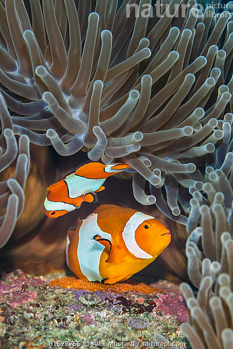 Pair of Western clown anemonefish (Amphiprion ocellaris) spawning orange eggs on the rock beneath their Magnificent sea anemone (Heteractis magnifica) home on a coral reef. This photo shows the larger female in the act of laying eggs, while the male waits to fertilise them. Bitung, North Sulawesi, Indonesia. Lembeh Strait, Molucca Sea.  ,  Animal,Wildlife,Cnidarian,Anthrozoan,Sea anemone,Magnificent sea anemone,Vertebrate,Ray-finned fish,Percomorphi,Damselfish,Clownfish,False clown anemonefish,Animalia,Animal,Wildlife,Cnidaria,Cnidarian,Coelentrerata,Anthozoa,Anthrozoan,Actiniaria,Sea anemone,Stichodactylidae,Heteractis,Heteractis magnifica,Magnificent sea anemone,Radianthus mabrucki,Radianthus ritteri,Vertebrate,Actinopterygii,Ray-finned fish,Osteichthyes,Bony fish,Fish,Perciformes,Percomorphi,Acanthopteri,Pomacentridae,Damselfish,Dameselfishes,Amphiprion,Clownfish,Anemonefish,Clown fish,Anenome fish,Amphiprion ocellaris,False clown anemonefish,False clownfish,Clown anemonefish,Common clownfish,Western clown anemonefish,Western clownfish,Anemone demoiselle,Spawning,Two,Asia,South East Asia,Indonesia,Oceania,Melanesia,New Guinea,Animal Eggs,Egg,Eggs,Food,Egg,Tropical,Reef,Reefs,Coral Reef,Coral Reefs,Ocean,Pacific Ocean,Nature,Marine Life,Sea Life,Marine,Underwater,Water,Animal Behaviour,Reproduction,Mating Behaviour,Copulation,Male female pair,Behaviour,Saltwater,Biodiversity hotspot,Molucca Sea,Sulawesi,Wallacea,Lembeh Strait,North Sulawesi,Bitung,Behavioural,Lembeh,Amblypomacentrus,Invertebrate,Invertebrates,Marine,,catalogue12  ,  Alex Mustard