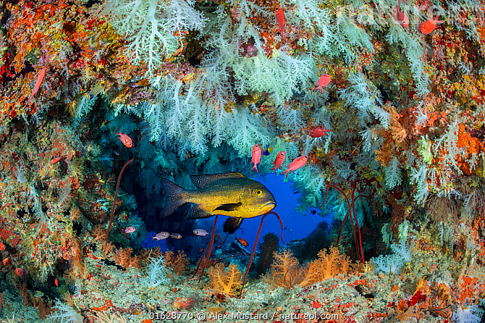 Midnight snapper (Macolor macularis) shelters in a cavern on a coral reef with white soft corals (Scleronephthya sp.) and solderfish. Vavuu Atoll, Maldives. Indian Ocean  ,  Animal,Wildlife,Cnidarian,Anthrozoan,Soft coral,Vertebrate,Ray-finned fish,Percomorphi,Snapper,Midnight snapper,Animalia,Animal,Wildlife,Cnidaria,Cnidarian,Coelentrerata,Anthozoa,Anthrozoan,Alcyonacea,Soft coral,Nephtheidae,Scleronephthya,Vertebrate,Actinopterygii,Ray-finned fish,Osteichthyes,Bony fish,Fish,Perciformes,Percomorphi,Acanthopteri,Lutjanidae,Snapper,Macolor,Macolor macularis,Midnight snapper,Midnight seaperch,Black and white snapper,Maldives,Maldive Islands,Republic of Maldives,Tropical,Reef,Reefs,Coral Reef,Coral Reefs,Ocean,Indian Ocean,Nature,Marine Life,Sea Life,Marine,Underwater,Water,Saltwater,Indian Ocean Islands,Invertebrate,Invertebrates,Marine,,catalogue12  ,  Alex Mustard