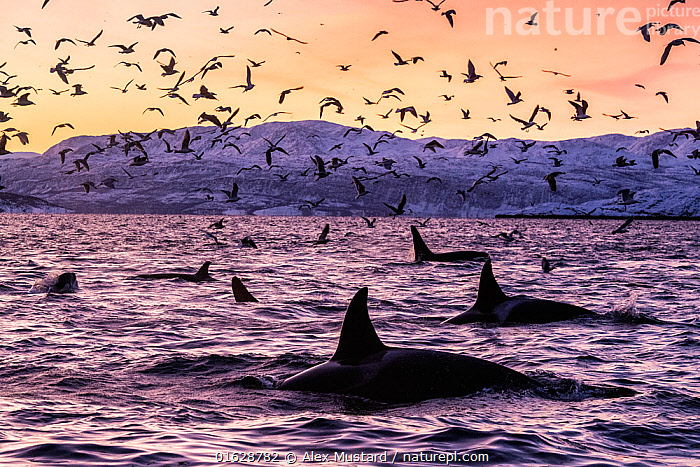 Killer whales (Orcinus orca) at the surface in an Arctic fjord in Spildra, northern Norway, with sea birds. Arctic Ocean, Group Of Animals,Flock,Group,North Europe,Nordic Countries,Scandinavia,Norway,Tromso,Troms,Arctic,Polar,Arctic Circle,Ocean,Arctic Ocean,Marine,Water,Saltwater,Pod,Surface,,,catalogue12, Alex Mustard