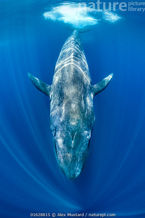 Blue whale (Balaenoptera musculus) swimming beneath the surface of the ocean. Indian Ocean, off Sri Lanka., Animal,Wildlife,Vertebrate,Mammal,Ceteacean,Blue Whale,Baleen whale,Animalia,Animal,Wildlife,Vertebrate,Mammalia,Mammal,Cetacea,Ceteacean,Balaenopteridae,Balaenoptera,Balaenoptera musculus,Blue Whale,Balaenoptera sulfurous,Asia,Indian Subcontinent,Sri Lanka,Ocean,Indian Ocean,Marine,Underwater,Water,Saltwater,Baleen whale,Biodiversity hotspot,Trincomalee,Endangered species,threatened,Endangered,,catalogue12, Alex Mustard