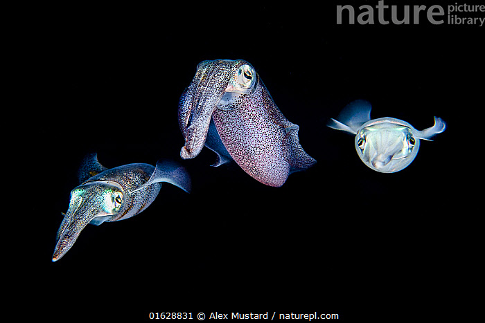 Shoal of three Bigfin reef squid (Sepioteuthis lessoniana) in open water at night. Bitung, North Sulawesi, Indonesia. Lembeh Strait, Molucca Sea.  ,  Animal,Wildlife,Mollusc,Cephalopod,Squid,Reef squid,Big fin reef squid,Animalia,Animal,Wildlife,Mollusca,Mollusc,Cephalopoda,Cephalopod,Myopsida,Squid,Loliginidae,Sepioteuthis,Reef squid,Sepioteuthis lessoniana,Big fin reef squid,Sepioteuthis arctipinnis,Septioteuthis brevis,Septioteuthis guinesis,Few,Three,Group,Asia,South East Asia,Indonesia,Oceania,Melanesia,New Guinea,Plain Background,Black Background,Tropical,Ocean,Pacific Ocean,Marine,Underwater,Water,Saltwater,Biodiversity hotspot,Molucca Sea,Sulawesi,Wallacea,Lembeh Strait,North Sulawesi,Bitung,Lembeh,Pelagic,Invertebrate,Invertebrates,Marine,,catalogue12  ,  Alex Mustard