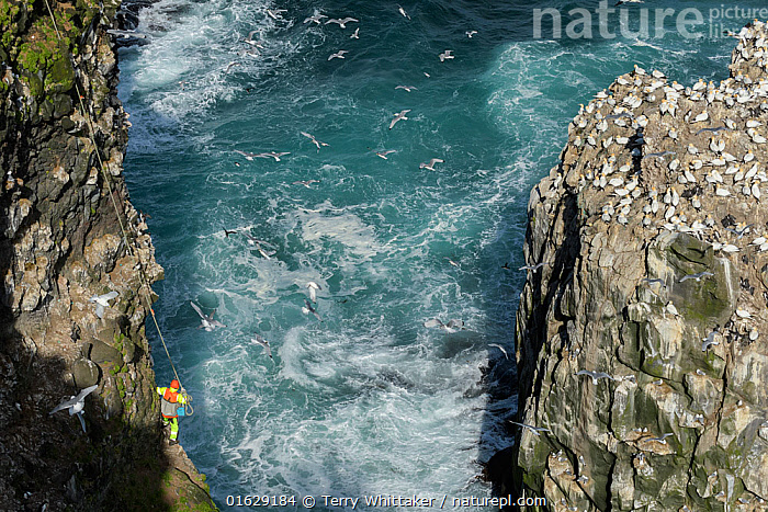 Man being lowered down cliff to collect seabird eggs including those of Common murre/ guillemot (Uria aalge) and Black-legged kittiwake (Rissa tridactyla). Gannet (Morus bassanus) colony on opposite cliff. Skoruvikurbjarg cliffs, Langanes Peninsula, Iceland. May 2018., Animal,Wildlife,Vertebrate,Bird,Birds,Auk,Murre,Common guillemot,Gull,Kittiwake,Phalacrocoraciformes,Sulid,Gannet,Northern gannet,Animalia,Animal,Wildlife,Vertebrate,Aves,Bird,Birds,Charadriiformes,Alcidae,Auk,Seabird,Uria,Murre,Uria aalge,Common guillemot,Guillemot,Thin billed murre,Common murre,Laridae,Gull,Rissa,Kittiwake,Larinae,Rissa tridactyla,Black legged kittiwake,Larus tridactyla,Larus tridactylus,Rissa tridactylus,Suliformes,Phalacrocoraciformes,Sulidae,Sulid,Morus,Gannet,Morus bassanus,Northern gannet,North Atlantic gannet,Atlantic gannet,Sula bassana,Collecting,Flying,Foraging,Leisure,Outdoor Pursuit,Climbing,Rappelling,Abseil,Abseiling,Abseils,Rappel,Rappeling,Rappeller,Rappellers,People,Man,Traditional,Swell,Group Of Animals,Animal Colony,Group,Europe,Northern Europe,North Europe,Nordic Countries,Scandinavia,Iceland,High Angle View,Animal Eggs,Egg,Eggs,Animal Home,Nest,Nesting,Cliff,Shadow,Ocean,Atlantic Ocean,Wave,Marine,Water,Mixed species,Saltwater,Sea,Seagulls,Elevated view,Breeding,Harvesting,Langanes,Langanes Peninsula,Seabird,Seabirds,Marine bird,Marine birds, Terry  Whittaker