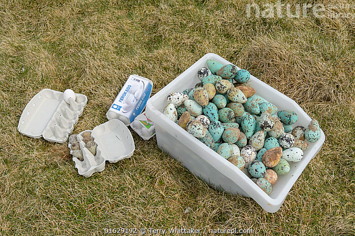 Common murre / guillemot (Uria aalge) and Black-legged kittiwake (Rissa tridactyla) eggs in box and egg boxes. Collected from Skoruvikurbjarg cliffs, Langanes Peninsula, Iceland. May 2018., Animal,Wildlife,Vertebrate,Bird,Birds,Auk,Murre,Common guillemot,Gull,Kittiwake,Animalia,Animal,Wildlife,Vertebrate,Aves,Bird,Birds,Charadriiformes,Alcidae,Auk,Seabird,Uria,Murre,Uria aalge,Common guillemot,Guillemot,Thin billed murre,Common murre,Laridae,Gull,Rissa,Kittiwake,Larinae,Rissa tridactyla,Black legged kittiwake,Larus tridactyla,Larus tridactylus,Rissa tridactylus,Foraging,Traditional,Group,Large Group,Europe,Northern Europe,North Europe,Nordic Countries,Scandinavia,Iceland,Animal Eggs,Egg,Eggs,Food,Egg,Container,Containers,Box,Boxes,Carton,Cartons,Egg Carton,Egg Box,Egg Boxes,Egg Cartons,Seagulls,Collection,Langanes,Langanes Peninsula,Seabird,Seabirds, Terry  Whittaker