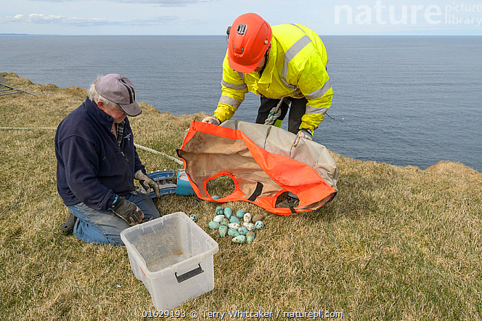 Two men on cliff top with Common guillemot / murre (Uria aalge) eggs collected from cliff face. Skoruvikurbjarg cliffs, Langanes Peninsula, Iceland. May 2018., Animal,Wildlife,Vertebrate,Bird,Birds,Auk,Murre,Common guillemot,Animalia,Animal,Wildlife,Vertebrate,Aves,Bird,Birds,Charadriiformes,Alcidae,Auk,Seabird,Uria,Murre,Uria aalge,Common guillemot,Guillemot,Thin billed murre,Common murre,Foraging,Unloading,People,Man,Traditional,Europe,Northern Europe,North Europe,Nordic Countries,Scandinavia,Iceland,Animal Eggs,Egg,Eggs,Container,Containers,Box,Boxes,Cliff,Ocean,Atlantic Ocean,Marine,Water,Saltwater,Sea,Cliff Top,Harvesting,Langanes,Langanes Peninsula,Seabird,Seabirds, Terry  Whittaker