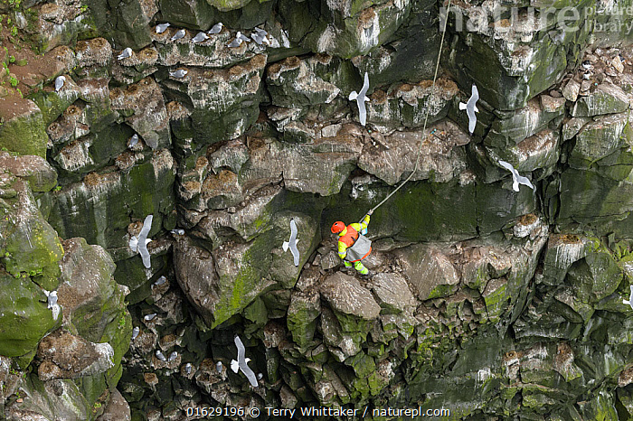 Man harvesting eggs in Black-legged kittiwake (Rissa tridactyla) colony, on steep cliff face. Skoruvikurbjarg cliffs, Langanes Peninsula, Iceland. May 2018., Animal,Wildlife,Vertebrate,Bird,Birds,Gull,Kittiwake,Animalia,Animal,Wildlife,Vertebrate,Aves,Bird,Birds,Charadriiformes,Laridae,Gull,Seabird,Rissa,Kittiwake,Larinae,Rissa tridactyla,Black legged kittiwake,Larus tridactyla,Larus tridactylus,Rissa tridactylus,Collecting,Flying,Foraging,Leisure,Outdoor Pursuit,Climbing,Rappelling,Abseil,Abseiling,Abseils,Rappel,Rappeling,Rappeller,Rappellers,People,Man,Traditional,Group Of Animals,Animal Colony,Group,Steep,Europe,Northern Europe,North Europe,Nordic Countries,Scandinavia,Iceland,High Angle View,Animal Home,Nest,Nesting,Cliff,Seagulls,Elevated view,Harvesting,Langanes,Langanes Peninsula,, Terry  Whittaker