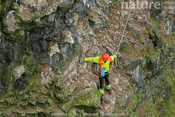 Man collecting seabird eggs including Common murre / guillemot (Uria aalge) from cliff. Skoruvikurbjarg cliffs, Langanes Peninsula, Iceland. May 2018., Animal,Wildlife,Vertebrate,Bird,Birds,Auk,Murre,Common guillemot,Animalia,Animal,Wildlife,Vertebrate,Aves,Bird,Birds,Charadriiformes,Alcidae,Auk,Seabird,Uria,Murre,Uria aalge,Common guillemot,Guillemot,Thin billed murre,Common murre,Foraging,Leisure,Outdoor Pursuit,Climbing,Rappelling,Abseil,Abseiling,Abseils,Rappel,Rappeling,Rappeller,Rappellers,People,Man,Traditional,Steep,Europe,Northern Europe,North Europe,Nordic Countries,Scandinavia,Iceland,High Angle View,Animal Eggs,Egg,Eggs,Cliff,Elevated view,Rockface,Harvesting,Langanes,Langanes Peninsula,Seabird,Seabirds, Terry  Whittaker