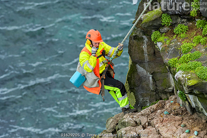 Man being lowered down cliff to collect seabird eggs including those of Common murre / guillemot (Uria aalge). Skoruvikurbjarg cliffs, Langanes Peninsula, Iceland. May 2018., Animal,Wildlife,Vertebrate,Bird,Birds,Auk,Murre,Common guillemot,Animalia,Animal,Wildlife,Vertebrate,Aves,Bird,Birds,Charadriiformes,Alcidae,Auk,Seabird,Uria,Murre,Uria aalge,Common guillemot,Guillemot,Thin billed murre,Common murre,Foraging,Leisure,Outdoor Pursuit,Climbing,Rappelling,Abseil,Abseiling,Abseils,Rappel,Rappeling,Rappeller,Rappellers,People,Man,Traditional,Europe,Northern Europe,North Europe,Nordic Countries,Scandinavia,Iceland,Animal Eggs,Egg,Eggs,Cliff,Rock,Ocean,Atlantic Ocean,Coast,Marine,Coastal,Water,Saltwater,Sea,Rockface,Harvesting,Langanes,Langanes Peninsula,Seabird,Seabirds, Terry  Whittaker