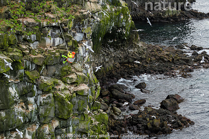 Man being lowered down cliff to collect seabird eggs including those of Black-legged kittiwake (Rissa tridactyla). Skoruvikurbjarg cliffs, Langanes Peninsula, Iceland. May 2018., Animal,Wildlife,Vertebrate,Bird,Birds,Gull,Kittiwake,Animalia,Animal,Wildlife,Vertebrate,Aves,Bird,Birds,Charadriiformes,Laridae,Gull,Seabird,Rissa,Kittiwake,Larinae,Rissa tridactyla,Black legged kittiwake,Larus tridactyla,Larus tridactylus,Rissa tridactylus,Foraging,Leisure,Outdoor Pursuit,Climbing,Rappelling,Abseil,Abseiling,Abseils,Rappel,Rappeling,Rappeller,Rappellers,People,Man,Traditional,Group Of Animals,Animal Colony,Group,Europe,Northern Europe,North Europe,Nordic Countries,Scandinavia,Iceland,Animal Eggs,Egg,Eggs,Cliff,Rock,Ocean,Atlantic Ocean,Coast,Marine,Coastal,Water,Saltwater,Sea,Seagulls,Breeding,Rockface,Harvesting,Langanes,Langanes Peninsula,, Terry  Whittaker