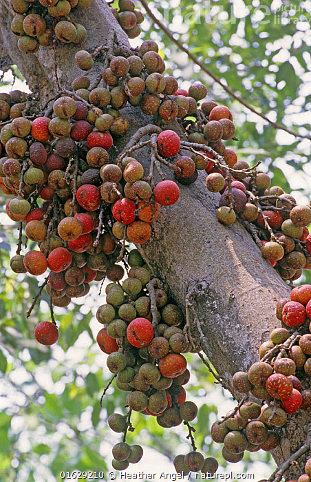 Cluster-fig tree (Ficus racemosa) fruits China growing from trunk. Eaten by squirrels, monkeys and birds. Flowers are pollinated by minute wasps. Xishuangbanna, Yunnan Province, China.  ,  Asia,East Asia,China,Plant,Tree Trunk,Fig,Figs,Fruit,Yunnan Province,Trunk,Xishuangbanna,  ,  Heather Angel