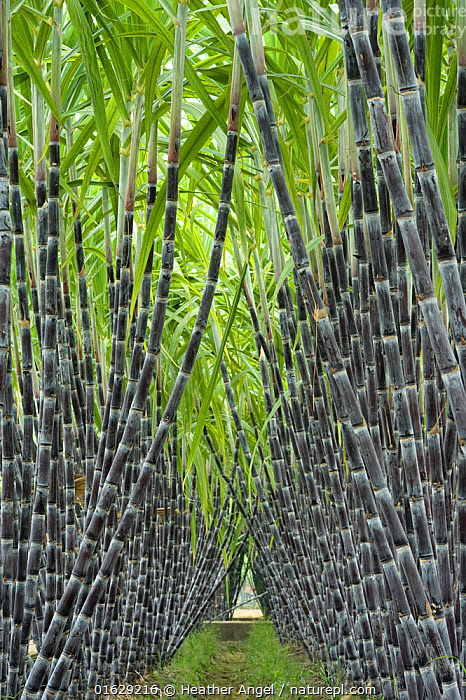 Black sugar cane (Saccharum officinarum) cultivated for sucrose in the stem, obtained by crushing. China.  ,  Plant,Vascular plant,Flowering plant,Monocot,Grass,Sugarcane,Sugar cane,Plantae,Plant,Tracheophyta,Vascular plant,Magnoliopsida,Flowering plant,Angiosperm,Seed plant,Spermatophyte,Spermatophytina,Angiospermae,Poales,Monocot,Monocotyledon,Lilianae,Poaceae,Grass,True grass,Gramineae,Saccharum,Sugarcane,Sugar cane,Saccharum officinarum,Saccharum atrorubens,Saccharum glabrum,Saccharum monandrum,Asia,East Asia,China,Crops,Produce,Cultivated,Grass Family,Sugar Cane,Sugar Canes,Sugarcane Plant,Sugarcane Plants,Sugarcanes,Stem,Food,Sugar,Agriculture,  ,  Heather Angel