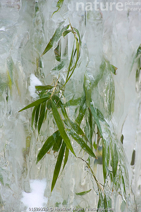 Bamboo encased by icicles formed beside a waterfall. Wolong, Sichuan Province, China. February.  ,  Plant,Vascular plant,Flowering plant,Monocot,Grass,Plantae,Plant,Tracheophyta,Vascular plant,Magnoliopsida,Flowering plant,Angiosperm,Seed plant,Spermatophyte,Spermatophytina,Angiospermae,Poales,Monocot,Monocotyledon,Lilianae,Poaceae,Grass,True grass,Gramineae,Frozen,Temperature,Cold,Asia,East Asia,China,Leaf,Foliage,Bamboo,Bamboos,Ice,Ice Crystal,Ice Crystals,Sichuan Province,Wolong,  ,  Heather Angel