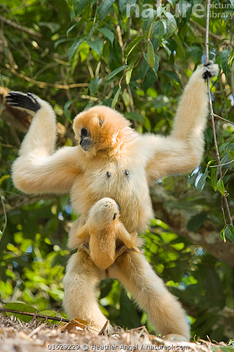 Chinese white cheeked gibbon (Nomascus leucogenys) female walking whilst carrying baby aged two weeks, holding on to vines for support. Parents released into wild from captive breeding programme. Wild Elephant Valley / Xishuangbanna, Yunnan Province, China.  ,  Animal,Wildlife,Vertebrate,Mammal,Gibbon,Crested gibbons,Northern White-cheeked Gibbon,Animalia,Animal,Wildlife,Vertebrate,Mammalia,Mammal,Primate,Primates,Hylobatidae,Gibbon,Lesser Ape,Hominoidea,Nomascus,Crested gibbons,Nomascus leucogenys,Northern White-cheeked Gibbon,White-cheeked Gibbon,Walking,Standing,Asia,East Asia,China,Front View,Female animal,Animal Behaviour,Parental behaviour,Conservation,Family,Mother baby,Behaviour,Mother,Parental,Captive breeding,Species recovery programs,Wildlife conservation,Reintroduction,Reintroduced,Yunnan Province,Standing on hind legs,Parent baby,Moving,Breeding Program,Behavioural,Movement,Xishuangbanna,Xishuangbanna National Nature Reserve,Endangered species,threatened,Critically endangered  ,  Heather Angel
