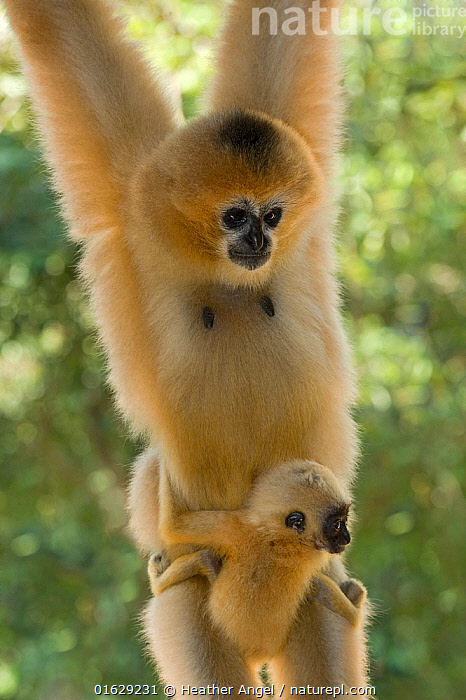 Chinese white cheeked gibbon (Nomascus leucogenys) female hanging, carrying baby aged two weeks. Parents released into wild from captive breeding programme. Wild Elephant Valley / Xishuangbanna, Yunnan Province, China.  ,  Animal,Wildlife,Vertebrate,Mammal,Gibbon,Crested gibbons,Northern White-cheeked Gibbon,Animalia,Animal,Wildlife,Vertebrate,Mammalia,Mammal,Primate,Primates,Hylobatidae,Gibbon,Lesser Ape,Hominoidea,Nomascus,Crested gibbons,Nomascus leucogenys,Northern White-cheeked Gibbon,White-cheeked Gibbon,Hanging,Asia,East Asia,China,Front View,Female animal,Animal Behaviour,Parental behaviour,Conservation,Family,Mother baby,Behaviour,Mother,Parental,Captive breeding,Species recovery programs,Wildlife conservation,Reintroduction,Reintroduced,Yunnan Province,Parent baby,Breeding Program,Behavioural,Xishuangbanna,Xishuangbanna National Nature Reserve,Endangered species,threatened,Critically endangered  ,  Heather Angel