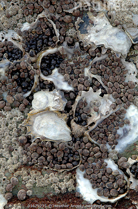 Winkles clustering in empty Oyster shells to avoid drying out when exposed to air at low tide. On rocky shore, Dalian, Liaoning Province, China.  ,  Animal,Wildlife,Mollusc,Gastropod,Hypsogastropoda,Periwinkle,Bivalve,Animalia,Animal,Wildlife,Mollusca,Mollusc,Gastropoda,Gastropod,Littorinimorpha,Hypsogastropoda,Caenogastropoda,Littorinidae,Periwinkle,Bivalvia,Bivalve,Sheltering,Protection,Asia,East Asia,China,Marine,Tidepool,Water,Mixed species,Saltwater,Intertidal,Littoral,Protector,Dalian,Invertebrate,Invertebrates,Marine  ,  Heather Angel