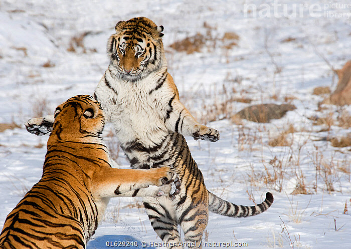 Amur / Siberian tiger (Panthera tigris altaica), two sparring in snow. Captive in tiger park, Heilongjiang Province, China. February.  ,  Animal,Wildlife,Vertebrate,Mammal,Carnivore,Cat,Big cat,Tiger,Siberian tiger,Animalia,Animal,Wildlife,Vertebrate,Mammalia,Mammal,Carnivora,Carnivore,Felidae,Cat,Panthera,Big cat,Panthera tigris,Tiger,Felis tigris,Tigris striatus,Tigris regalis,Standing,Two,Asia,East Asia,China,Snow,Boxing,Spar,Sparring,Spars,Animal Behaviour,Aggression,Fighting,Conservation,Siberian tiger,Amur tiger,Behaviour,Captive breeding,Species recovery programs,Wildlife conservation,Standing on hind legs,Two animals,Breeding Program,Behavioural,Endangered species,threatened,Endangered  ,  Heather Angel