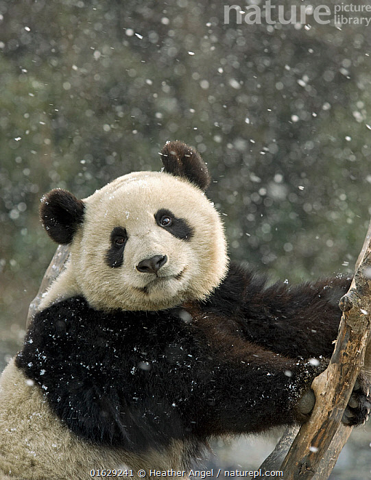 Giant panda (Ailuropoda melanoleuca) portrait, in falling snow. Captive bred, in enclosure, Panda Breeding Centre, Wolong, Sichuan Province, China. February 2008., Animal,Wildlife,Vertebrate,Mammal,Carnivore,Bear,Giant panda,Animalia,Animal,Wildlife,Vertebrate,Mammalia,Mammal,Carnivora,Carnivore,Ursidae,Bear,Ailuropoda,Ailuropoda melanoleuca,Giant panda,Asia,East Asia,China,Front View,Side View,Portrait,Weather,Snowing,Snowfall,Winter,Conservation,Captive breeding,Species recovery programs,Wildlife conservation,Sichuan Province,Direct Gaze,Breeding Program,Wolong,Endangered species,threatened,Endangered, Heather Angel