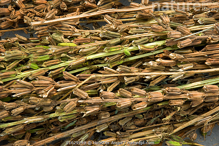 Sesame (Sesamum indicum), dried seed pods ready for seed harvesting. Sichuan Province, China.  ,  Plant,Vascular plant,Flowering plant,Asterid,Pedalium,Sesame,Plantae,Plant,Tracheophyta,Vascular plant,Magnoliopsida,Flowering plant,Angiosperm,Seed plant,Spermatophyte,Spermatophytina,Angiospermae,Lamiales,Asterid,Dicot,Dicotyledon,Asteranae,Pedaliaceae,Pedalium,Sesamum,Sesame,Sesamum indicum,Dysosmon amoenum,Sesamum africanum,Sesamum orientale,Asia,East Asia,China,Crops,Produce,Cultivated,Seed,Seeds,Sesame Seed,Sesame Seeds,Preservation,Sichuan Province,  ,  Heather Angel