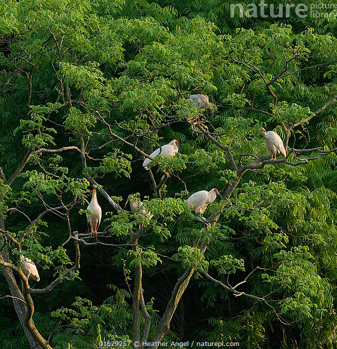 Crested ibis (Nipponia nippon) group roosting in tree at dusk. Captive bred. Yangxian, Shaanxi, China.  ,  Animal,Wildlife,Vertebrate,Bird,Birds,Ibis,Japanese crested ibis,Animalia,Animal,Wildlife,Vertebrate,Aves,Bird,Birds,Pelecaniformes,Threskiornithidae,Nipponia,Ibis,Ibe,Ibide,Threskiornithinae,Nipponia nippon,Japanese crested ibis,Crested ibis,Japanese ibis,Japanese white ibis,Oriental crested ibis,Oriental ibis,Roosting,Roost,Group,Asia,East Asia,China,Plant,Tree,Forest,Yangxian,Endangered species,threatened,Endangered  ,  Heather Angel
