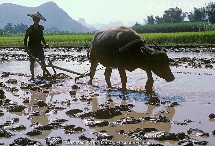 Chinese farmer wearing traditional bamboo hat ploughing flooded Rice (Oryza sativa) paddy with Water buffalo (Bubalus bubalis). Xingping, Nr Guilin, Guangxi Zhuang Autonomous Region, China. October 1985  ,  Plant,Vascular plant,Flowering plant,Monocot,Grass,Rice,Cultivated rice,Domestic Water buffalo,Domestic Asian water buffalo,Domesticated Asian Water Buffalo,Plantae,Plant,Tracheophyta,Vascular plant,Magnoliopsida,Flowering plant,Angiosperm,Seed plant,Spermatophyte,Spermatophytina,Angiospermae,Poales,Monocot,Monocotyledon,Lilianae,Poaceae,Grass,True grass,Gramineae,Oryza,Rice,Oryza sativa,Cultivated rice,Asian rice,Oryza elongata,Oryza rubribarbis,Domestic Water buffalo,Ploughing,People,Man,Agricultural Occupation,Farmer,Traditional,Asia,East Asia,China,Guangxi,Animal,Agricultural Land,Cultivated Land,Field,Rice Field,Rice Paddies,Agriculture,Livestock,Domestic animal,Cattle,Farmland,Domesticated,Asian Water Buffalo,Domestic Asian water buffalo,Domesticated Asian Water Buffalo,Mammal,Guilin,  ,  Heather Angel