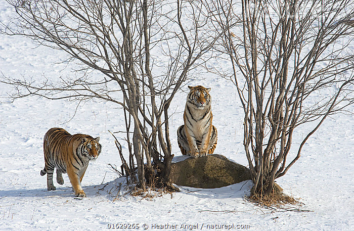 Amur / Siberian tiger (Panthera tigris altaica), two amongst trees in snow, one walking, the other sitting. Captive in tiger park, Heilongjiang Province, China. January.  ,  Animal,Wildlife,Vertebrate,Mammal,Carnivore,Cat,Big cat,Tiger,Siberian tiger,Animalia,Animal,Wildlife,Vertebrate,Mammalia,Mammal,Carnivora,Carnivore,Felidae,Cat,Panthera,Big cat,Panthera tigris,Tiger,Felis tigris,Tigris striatus,Tigris regalis,Walking,Sitting,Two,Asia,East Asia,China,Snow,Winter,Conservation,Siberian tiger,Amur tiger,Captive breeding,Species recovery programs,Wildlife conservation,Two animals,Moving,Movement,Endangered species,threatened,Endangered  ,  Heather Angel