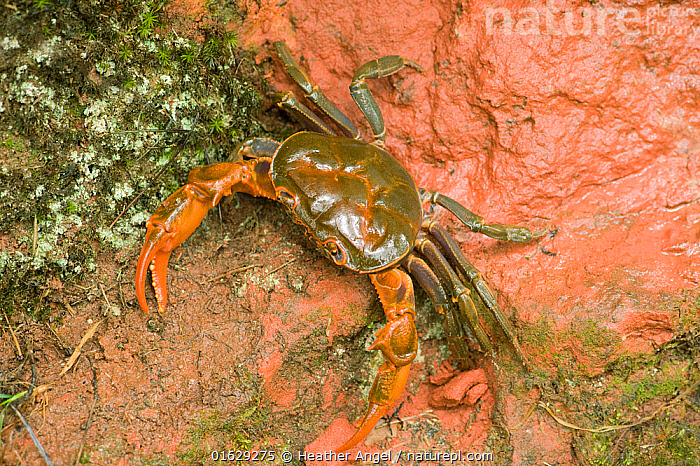 Land crab crawling on red sandstone after overnight storm. Shunan Zhuhai National Park, Sichuan Province, China., Animal,Wildlife,Crustacean,Decapod,Land crab,Animalia,Animal,Wildlife,Crustracea,Crustacean,Malacostraca,Decapoda,Decapod,Gecarcinidae,Land crab,Crawling,Crawl,Crawls,Asia,East Asia,China,Claw,Claws,Pincers,Rock,Sandstone,Reserve,Arthropod,Arthropods,Protected area,National Park,Invertebrate,Sichuan Province,Sichuan,Shunan Zhuhai national Park,South Sichuan Bamboo Sea,Sichuan Bamboo Sea,, Heather Angel
