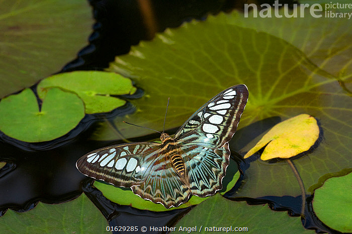 Clipper butterfly (Parthenos sylvia) resting on Water lily (Nymphaceae) pad. Butterfly house, Yunnan Province, China.  ,  Animal,Wildlife,Arthropod,Insect,Brushfooted butterfly,Clipper butterfly,Clipper,Animalia,Animal,Wildlife,Hexapoda,Arthropod,Invertebrate,Hexapod,Arthropoda,Insecta,Insect,Lepidoptera,Lepidopterans,Nymphalidae,Brushfooted butterfly,Fourfooted butterfly,Nymphalid,Butterfly,Papilionoidea,Parthenos,Clipper butterfly,Parthenos sylvia,Clipper,The clipper,Brown clipper,Papilio sylvia,Resting,Rest,Pattern,Asia,East Asia,China,Yunnan Province,  ,  Heather Angel