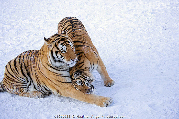 Amur / Siberian tiger (Panthera tigris altaica) pair nuzzling, in snow. Captive in tiger park, Heilongjiang Province, China. January.  ,  Animal,Wildlife,Vertebrate,Mammal,Carnivore,Cat,Big cat,Tiger,Siberian tiger,Animalia,Animal,Wildlife,Vertebrate,Mammalia,Mammal,Carnivora,Carnivore,Felidae,Cat,Panthera,Big cat,Panthera tigris,Tiger,Felis tigris,Tigris striatus,Tigris regalis,Nuzzling,Courting,Two,Pattern,Stripes,Affectionate,Affection,Asia,East Asia,China,Snow,Animal Behaviour,Reproduction,Mating Behaviour,Courtship,Siberian tiger,Amur tiger,Male female pair,Behaviour,Behavioural,Endangered species,threatened,Endangered  ,  Heather Angel