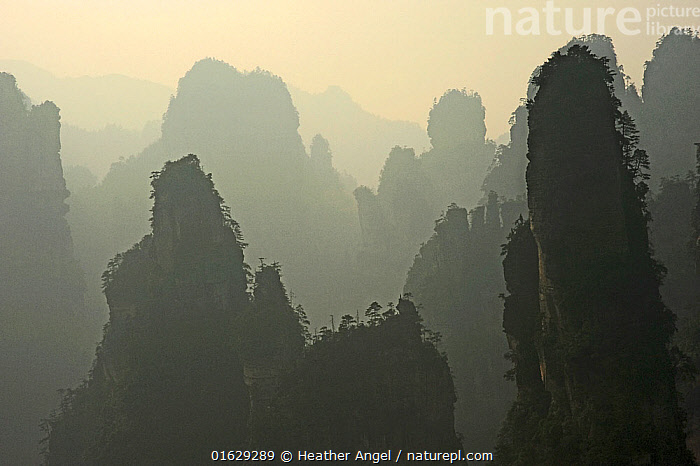 Quartz-sanstone pillars covered with Wulingyuan pine trees (Pinus spp). Zhangjiajie National Forest Park, Wulingyuan Scenic Area, Hunan Province, China.  ,  Asia,East Asia,China,Back Lit,Plant,Tree,Hill,Mountain,Summit,Rock Formations,Rock,Sandstone,Mist,Landscape,Reserve,Geology,Silhouette,Protected area,UNESCO World Heritage Site,National Park,Hazy,Karst,Landform,Wulingyuan Scenic Area,Zhangjiajie National Forest Park,  ,  Heather Angel