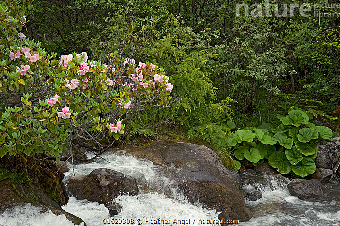 Rhododendron (Rhododendron souliei) and Leopard plant (Ligularia sp) on bank of river flowing through forest. South of Kangding, Sichuan Province, China. June.  ,  Plant,Vascular plant,Flowering plant,Asterid,Rhododendron,Plantae,Plant,Tracheophyta,Vascular plant,Magnoliopsida,Flowering plant,Angiosperm,Seed plant,Spermatophyte,Spermatophytina,Angiospermae,Ericales,Asterid,Dicot,Dicotyledon,Asteranae,Ericaceae,Rhododendron,Azalea,Ledum,Asterales,Asteraceae,Compositae,Asia,East Asia,China,Rock,Flowing Water,River,Freshwater,Water,Forest,Sichuan Province,Ligularia,Leopard plant,Rhododendron souliei,Ericaceous  ,  Heather Angel