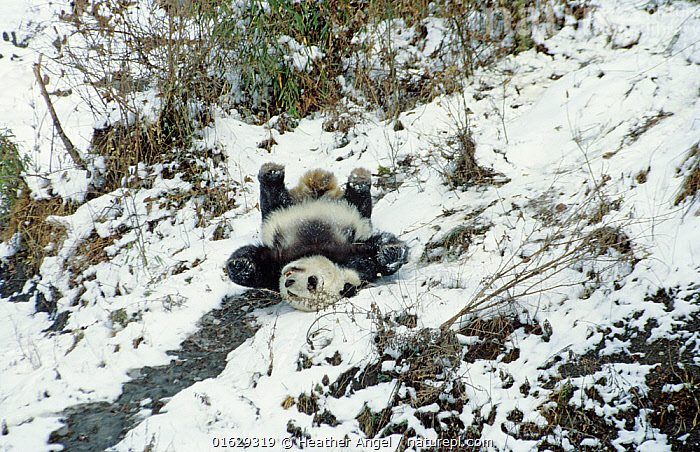 Giant panda (Ailuropoda melanoleuca) sliding down slope on back after losing footing. Panda Breeding Centre, Wolong, Sichuan, China. January 1987.  ,  Animal,Wildlife,Vertebrate,Mammal,Carnivore,Bear,Giant panda,Animalia,Animal,Wildlife,Vertebrate,Mammalia,Mammal,Carnivora,Carnivore,Ursidae,Bear,Ailuropoda,Ailuropoda melanoleuca,Giant panda,Moving Down,Falling,Falling Over,Falls,Tripping,Trip,Lying down,Lying On Back,Asia,East Asia,China,Snow,Conservation,Captive breeding,Species recovery programs,Wildlife conservation,Sichuan Province,Moving,Sichuan,Movement,Endangered species,threatened,Endangered  ,  Heather Angel