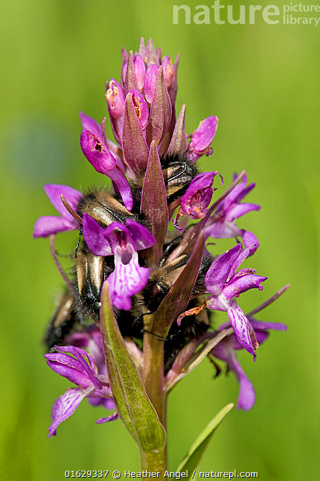 Scarab beetles sleeping overnight in Persian marsh orchid (Dactylorhiza umbrosa). Turkey. June.  ,  Plant,Vascular plant,Flowering plant,Monocot,Orchid,Keyflower,Plantae,Plant,Tracheophyta,Vascular plant,Magnoliopsida,Flowering plant,Angiosperm,Seed plant,Spermatophyte,Spermatophytina,Angiospermae,Asparagales,Monocot,Monocotyledon,Lilianae,Orchidaceae,Orchid,Dactylorhiza,Keyflower,Key flower,Marsh orchid,Spotted orchid,Dactylorhiza umbrosa,Orchis umbrosa,Dactylorchis umbrosa,Dactylorhiza kotschyi,Resting,Rest,Sleeping,Roosting,Roost,Colour,Purple,Group Of Animals,Group,Asia,Middle East,Turkey,Flower,Flowerhead,  ,  Heather Angel