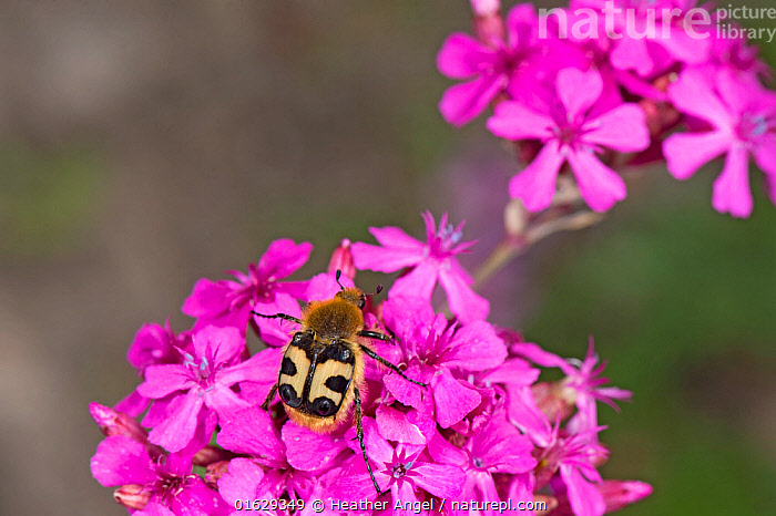 Bee beetle (Trichius fasciatus), a bee mimic, nectaring on Umbel-flowered catchfly (Silene compacta). Picks up pollen on hairy body. Russian Caucasus. June.  ,  Plant,Vascular plant,Flowering plant,Dicot,Pink,Animal,Wildlife,Arthropod,Insect,Beetle,Scarab,Bee beetle,Bulgarian catchfly,Plantae,Plant,Tracheophyta,Vascular plant,Magnoliopsida,Flowering plant,Angiosperm,Seed plant,Spermatophyte,Spermatophytina,Angiospermae,Caryophyllales,Dicot,Dicotyledon,Caryophyllanae,Centrospermae,Caryophyllaceae,Pink,Carnation,Silene,Animalia,Animal,Wildlife,Hexapoda,Arthropod,Invertebrate,Hexapod,Arthropoda,Insecta,Insect,Coleoptera,Beetle,Endopterygota,Neoptera,Scarabaeidae,Scarab,Scarabid,Scarabaeoidea,Polyphaga,Trichius,Bee beetle,Flower chafer,Fruit and flower chafer,Flower beetle,Flower scarab,Chafer beetle,Chafer,Trichiinae,Trichiini,Cetoniinae,Trichius fasciatus,Scarabaeus fasciatus,Trichius quadrimaculatus,Trichius sekerai,Pollination,Colour,Pattern,Spotted,Russia,Copy Space,Flower,Feeding,Silene compacta,Bulgarian catchfly,Mimicking,Nectaring,Negative space,Belidae,  ,  Heather Angel