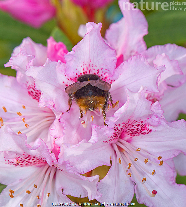 Buff tailed bumblebee (Bombus terrestris) queen nectaring on Rhododendron (Rhododendron sp), pollen from anthers on backside and legs. Surrey, England, UK. March.  ,  Animal,Wildlife,Arthropod,Insect,Bee,Bumblebee,Buff tailed bumblebee,Animalia,Animal,Wildlife,Hexapoda,Arthropod,Invertebrate,Hexapod,Arthropoda,Insecta,Insect,Hymenoptera,Apidae,Bee,Apid bee,Apoidea,Apocrita,Bombus,Bumblebee,Bumble bee,Bombus terrestris,Buff tailed bumblebee,Large earth bumblebee,Apis terrestris,Bombus canariensis,Pollination,Colour,Pink,Female animal,Plant,Flower,Petal,Petals,Stamen,Anther,Anthers,Stamens,Rear End,Feeding,Queen,Gyne,Nectaring,  ,  Heather Angel
