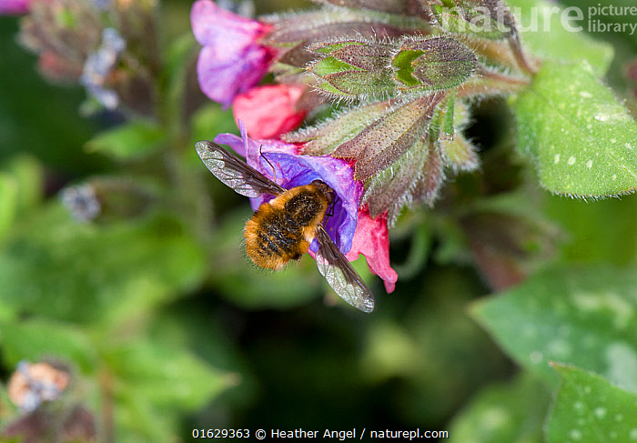 Large bee-fly (Bombylius major) nectaring on Lungwort (Pulmonaria sp). In garden, Surrey, England, UK. March.  ,  Animal,Wildlife,Arthropod,Insect,True fly,Bee fly,Dark edged bee fly,Animalia,Animal,Wildlife,Hexapoda,Arthropod,Invertebrate,Hexapod,Arthropoda,Insecta,Insect,Diptera,True fly,Fly,Bombyliidae,Bee fly,Beefly,Asiloidea,Asilomorpha,Brachycera,Bombylius,Bombylius major,Dark edged bee fly,Large bee fly,Greater bee fly,Common bee fly,Asilus lanigerus,Bombylius albipectus,Bombylius variegatus,Europe,Western Europe,UK,Great Britain,England,Surrey,High Angle View,Plant,Flower,Feeding,Elevated view,Nectaring,  ,  Heather Angel