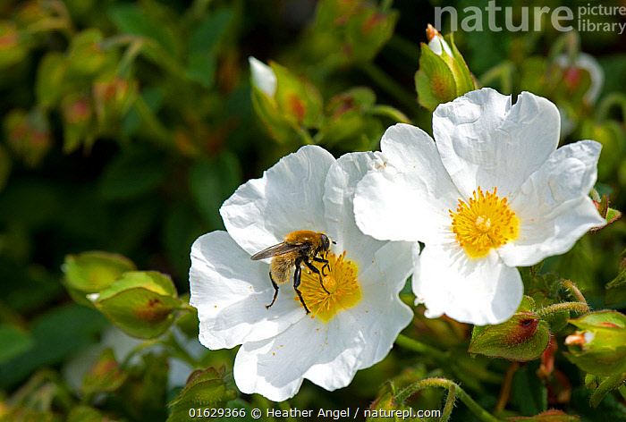 Narcissus fly (Merodon equestris) male nectaring on Rock rose (Cistus x hybridus) in garden, Surrey, England, UK.  ,  Plant,Vascular plant,Flowering plant,Rosid,Rock rose,Animal,Wildlife,Arthropod,Insect,True fly,Hoverfly,Narcissus bulb fly,Plantae,Plant,Tracheophyta,Vascular plant,Magnoliopsida,Flowering plant,Angiosperm,Seed plant,Spermatophyte,Spermatophytina,Angiospermae,Malvales,Rosid,Dicot,Dicotyledon,Rosanae,Cistaceae,Rock rose,Cistus,Animalia,Animal,Wildlife,Hexapoda,Arthropod,Invertebrate,Hexapod,Arthropoda,Insecta,Insect,Diptera,True fly,Fly,Syrphidae,Hoverfly,Hover fly,Flower fly,Syrphid fly,Syrphoidea,Muscomorpha,Brachycera,Merodon,Merodon equestris,Narcissus bulb fly,Greater bulb fly,Narcissus fly,Large bulb fly,Large narcissus fly,Eristalis narcissi,Merodon narcissi,Merodon transversalis,Pollination,Colour,White,Europe,Western Europe,UK,Great Britain,England,Surrey,Male Animal,Flower,Stamen,Anther,Anthers,Stamens,Feeding,Nectaring,  ,  Heather Angel